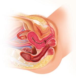 Órganos reproductores de la mujer